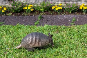 Armadillo by flower garden