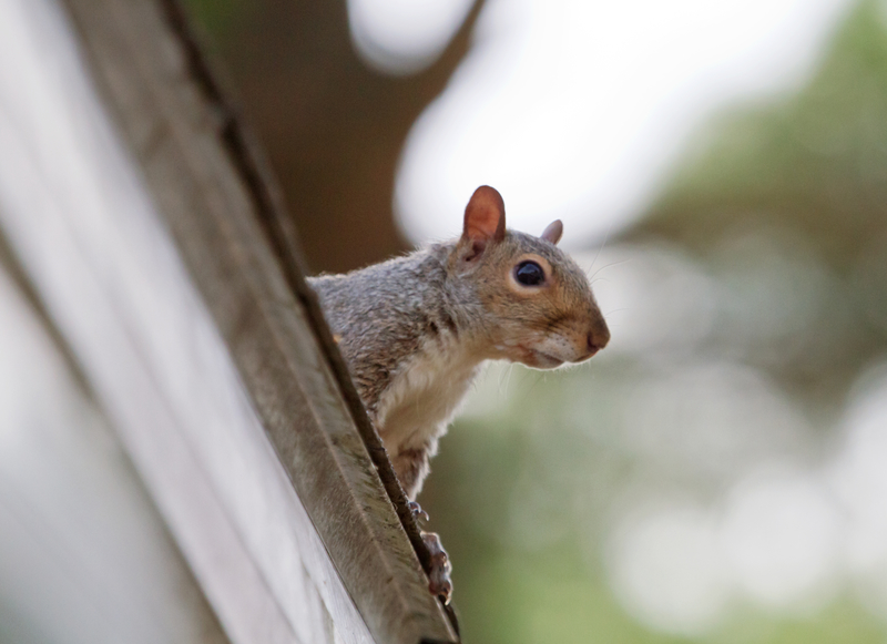 image of Cloverleaf squirrel removal process