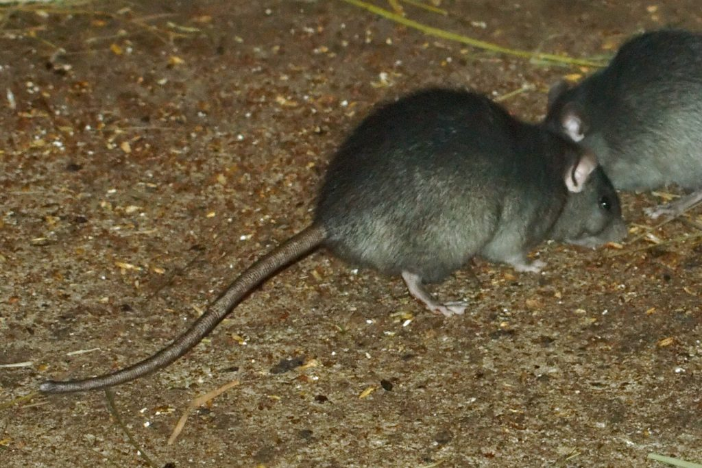 rat removal, control and elimination