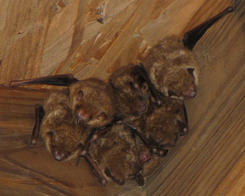 Photo of bats roosting in attic