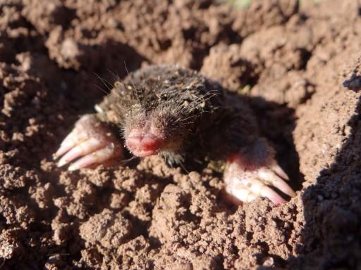 Moles In Texas