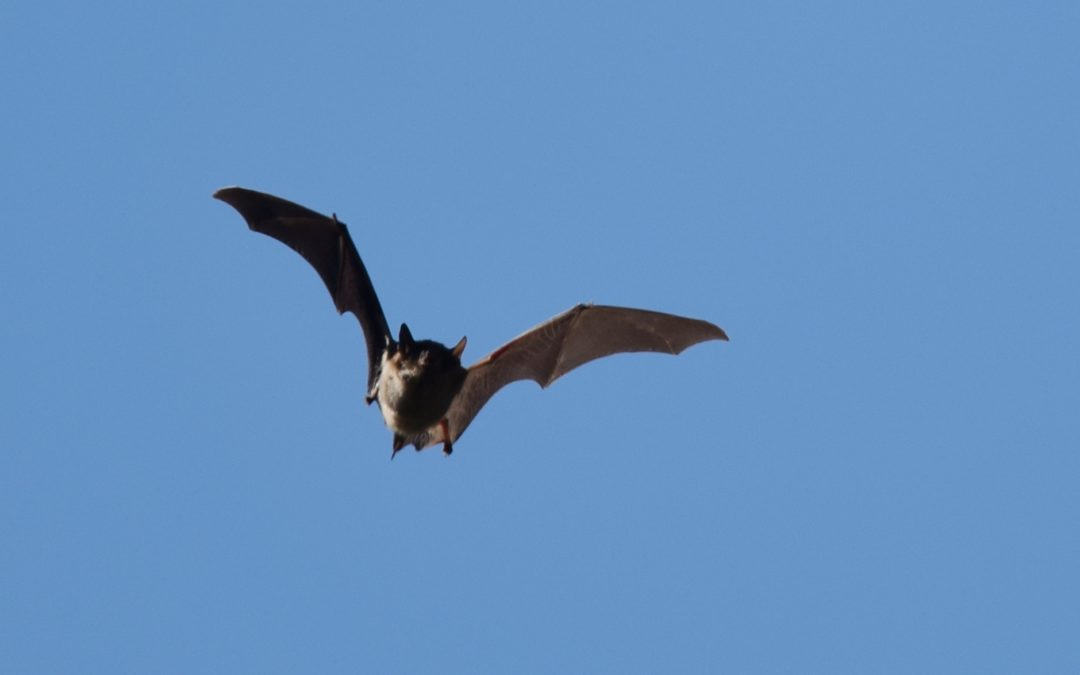 Wind Turbines Are One of the Biggest Threats to Bats