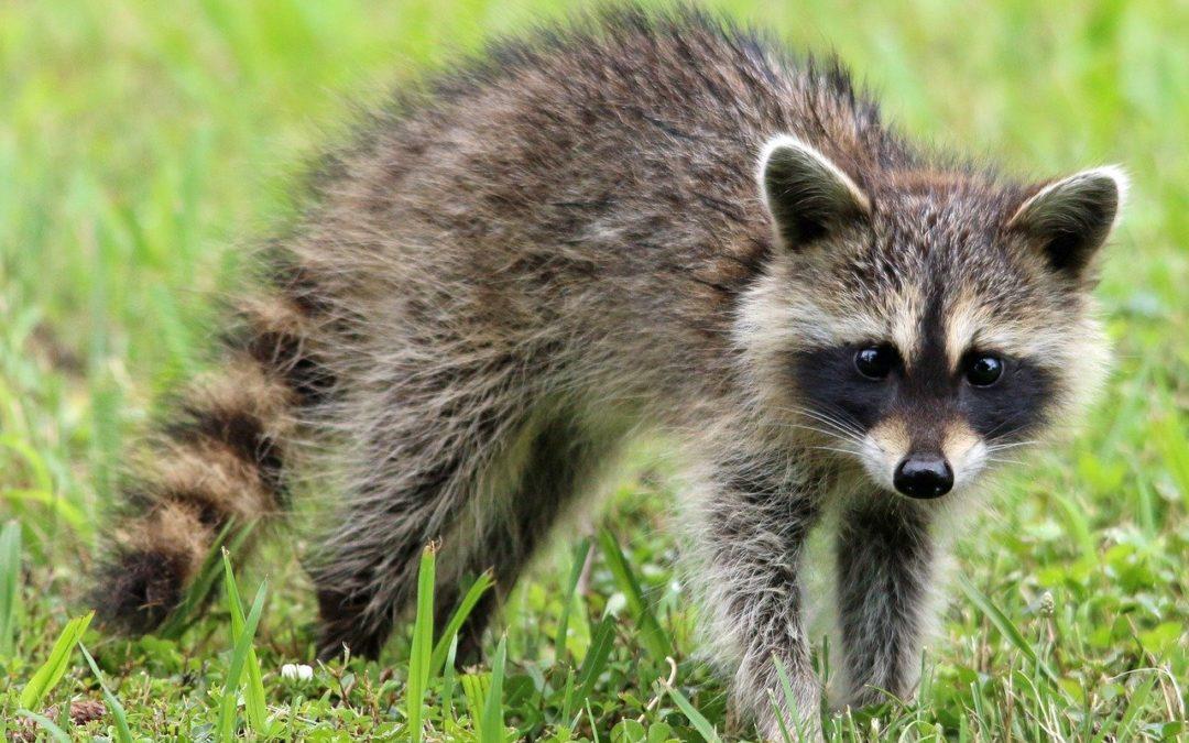 FAQ: Raccoon Removal