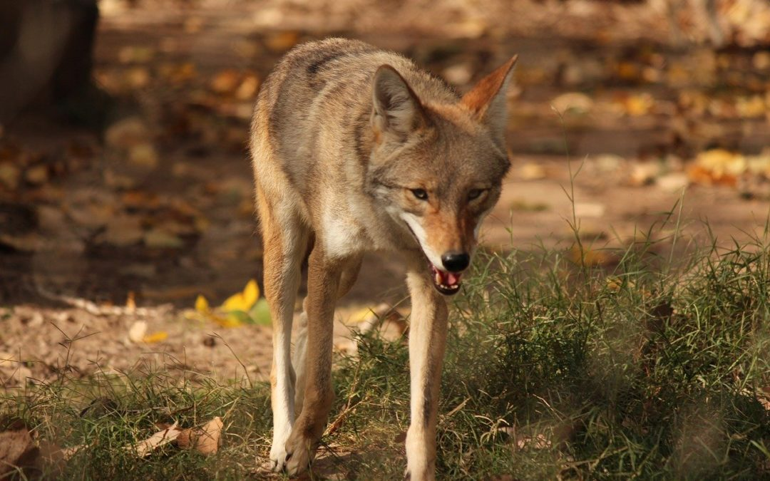 Coyote Mating Season Is Here
