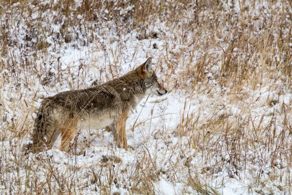 Image of wolf in the winter snow