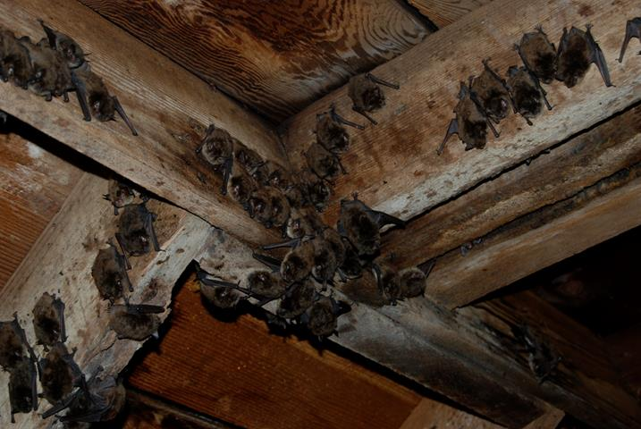 Picture of bats roosting in attic